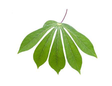 Cassava leaves. Onwhite background. dicut Stock Photo