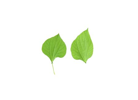 The leaves of Hyacinth Bean green on isolated white back ground. Cooking results. dicut