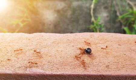 The crowd of ants to fight against insects, bigger size for food. Unity of the ants.