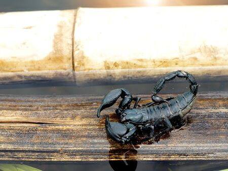 Black elephant scorpion on dry branches die In a variety of water seasons. Heavy rain causes flooding.
