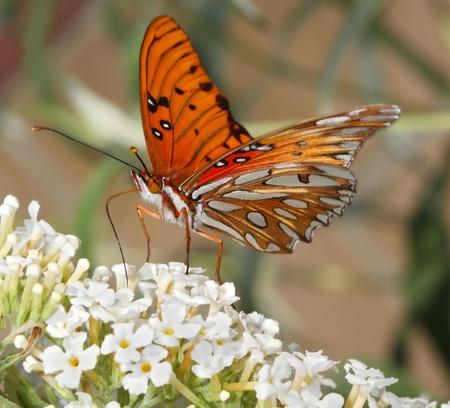 Macro shot of Gulf Fritillary or Passion Butterfly (Agraulis vanillae) drinking nectar from buddleia flower (buddleia davidii)