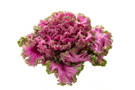 flowering kale: Fresh organic pink flowering kale on white background