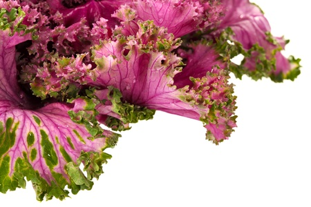 flowering kale: Flowering pink kale on partially isolated white background Stock Photo