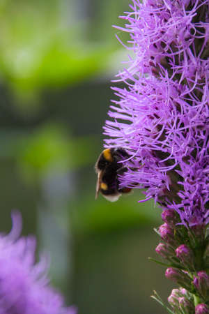 a bumblebee collect pollen on a purple flower liatris in the summertime