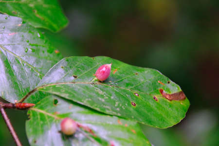 Macro of many galls or cecidia outgrow of galls wasp eggs on the surface of Fagus leaves