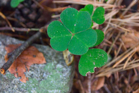 beautiful three-leafed clover leaves in the forest Standard-Bild