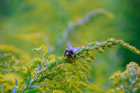 a sweet bee collects the pollen of a goldenrod