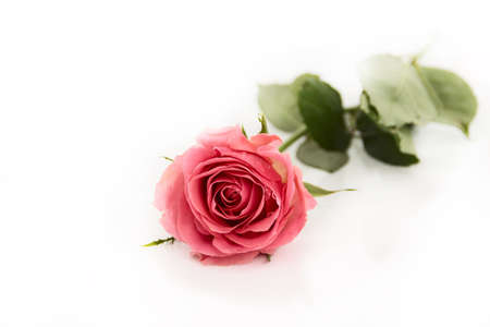 Pink flower rose with green leaves, on a white background, isolated, close up photo