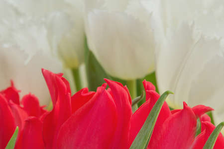 yellow stamens: red and white tulips with green leaves, yellow stamens, Photographed close, bouquet,
