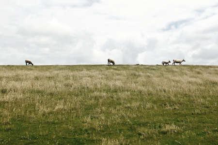 horizon, blue sky, clouds, green grass, ears, on the horizon sheep, photo close-up photo