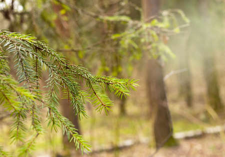 Pine branch with young needles, spring, sunny. Close-up, selective focus 免版税图像