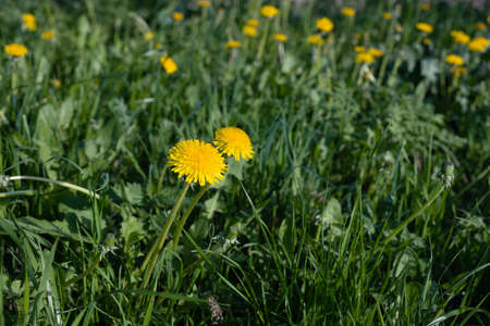 Yellow dandelions on a green meadow among the grass. Close-up, selective focus.