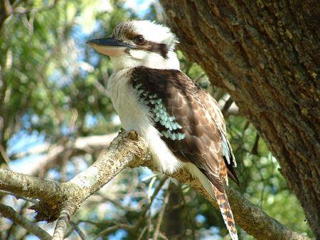 Kookaburra meditating