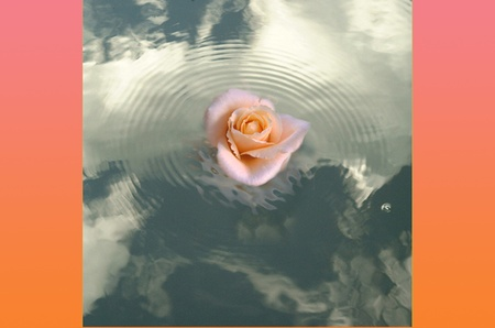 Rose on Water Stock Photo - 10759025