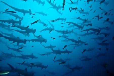 aletas: Requins marteau en banc Gal�pagos Foto de archivo