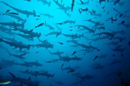 shark mouth: Requins marteau en banc Galapagos Stock Photo