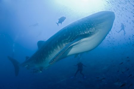 galapagos: whale shark with divers Stock Photo