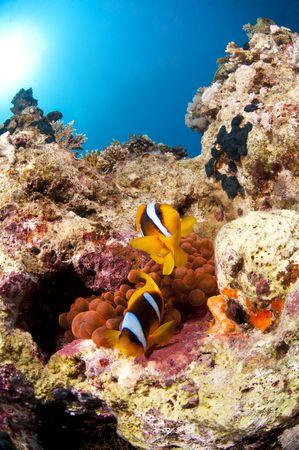 Poisson clown et son anemone, Mer Rouge, Egypte