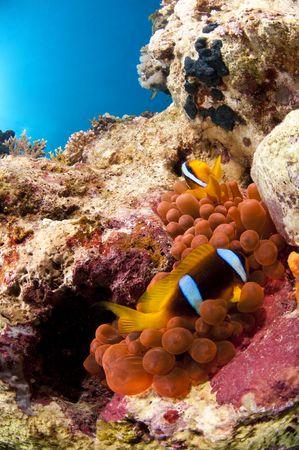 Poisson clown et son anemone, Mer Rouge, Egypte Stock Photo