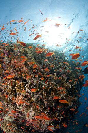 reef, red sea, south sinai, egypt Stock Photo - 10889288