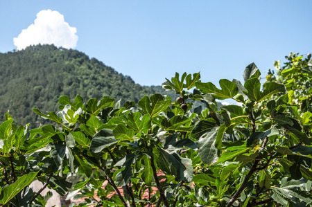 fig tree with green fruits against the mountains Archivio Fotografico