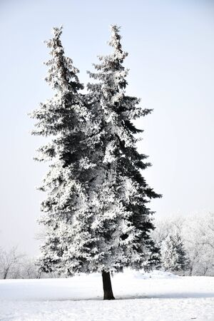 Christmas tree with two tops covered with snow against the sky