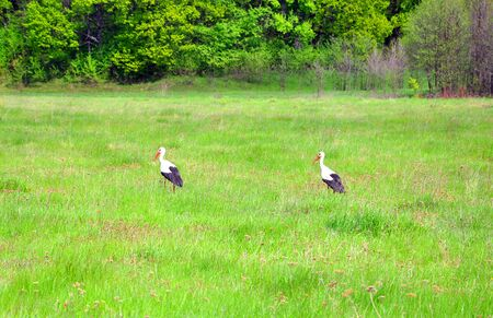 two storks walking on a green field for your design Banco de Imagens