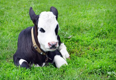 calf on the field for your design
