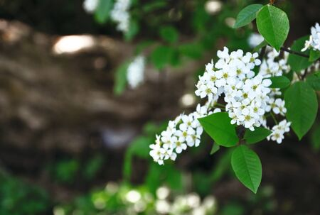 branch of a white blossoming bird cherry