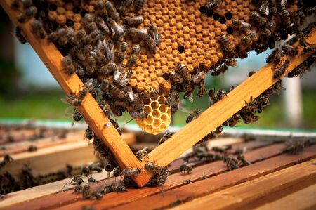 honeycomb with developing queen bee larvae for your design
