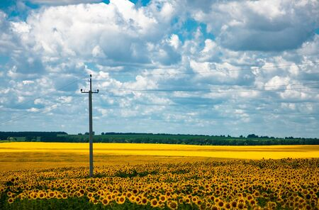 sunflower field on a sunny day for your design