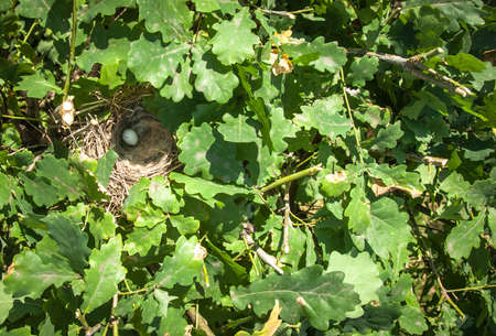 Blackbird nest with one blue egg on oak branches