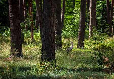 Stork walks among the trees in a pine forest