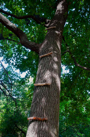 Stage ladder nailed to the trunk of a tall tree. Quality image for your project