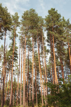 Pine forest on a warm sunny day on a background of blue sky. Quality image for your project