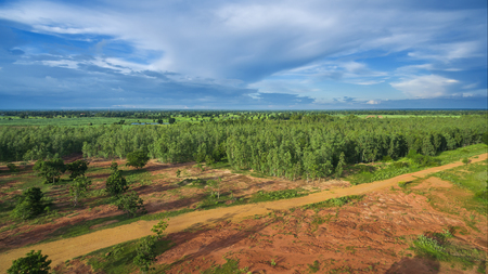 Reforestation of eucalyptus for production Stock Photo