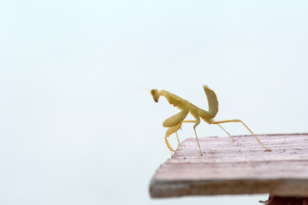 raptorial: Mantodea grasshopper on wood table