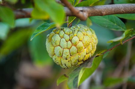custard apple growing on a tree