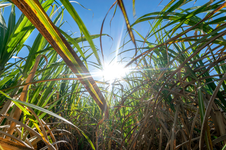 clouse up Sugar cane field with blue sky and  sun rays nature background. Stock Photo