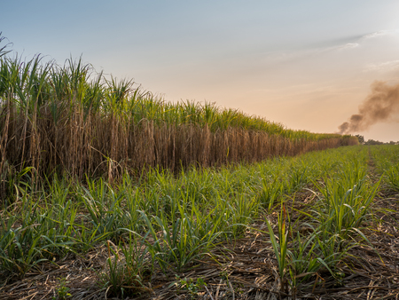 Sugar cane field with sunset sky nature landscape background.