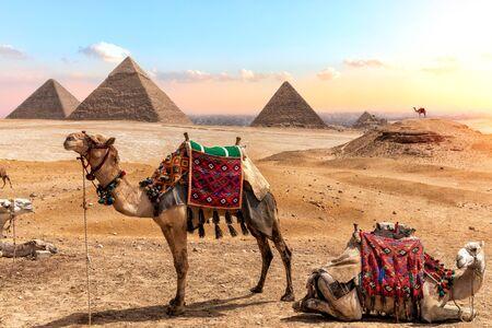 Cammelli vicino alle piramidi, splendido scenario egiziano. Archivio Fotografico