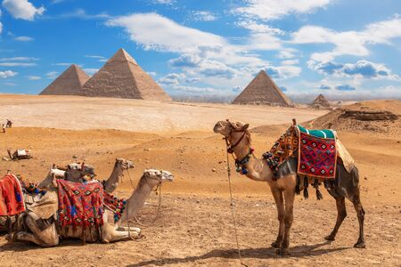 Camels on a halt near the three Pyramids of Giza