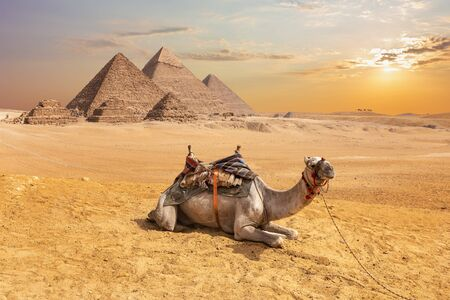 Cute camel in front of the Egyptian Pyramids, Giza desert. Stock Photo
