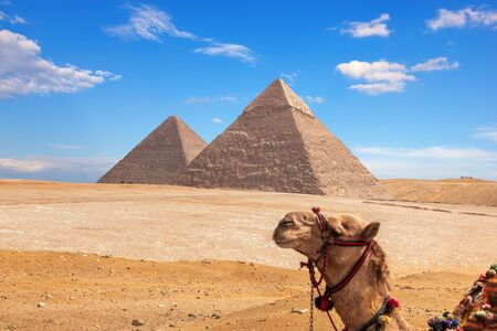 Giza Pyramids and a funny camel, Egypt.