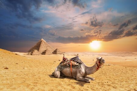 A camel in Giza desert with famous Pyramids in the background, Egypt. Imagens