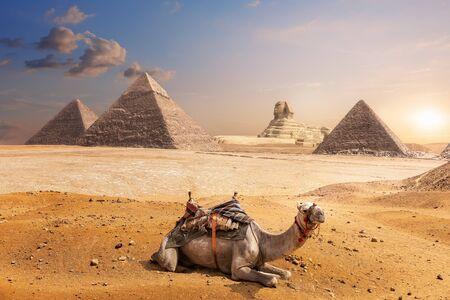 Un camello de Giza frente a la Esfinge y las Pirámides, Egipto.
