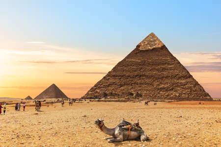 A camel by the Pyramids of Egypt, Giza 免版税图像