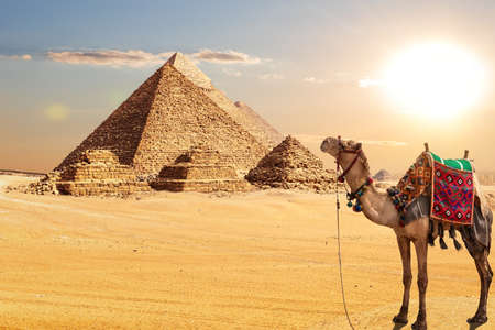 A camel by the Pyramids of Egypt in the desert of Giza