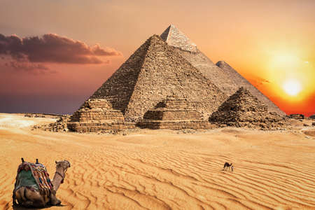 Camels in the sunset desert in front of the famous Pyramids of Giza. 免版税图像