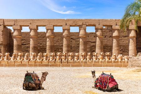 Avenue of Ram-Sphinxes watching by camels, Karnak Temple, Luxor, Egypt 版權商用圖片